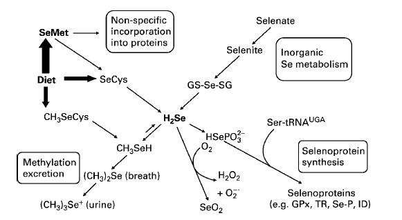 Importance of selenium Selenocysteine incorporated in selenoproteins (>25) glutathione peroxidases (GPx)