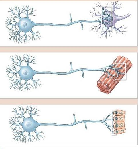 Synapse/Junctions A Neuron Neuron B Neuron Muscle fibers C Neuron Gland A. If a neuron connects with another neuron interneural synapse/junction. B. f a neuron connects with a muscle fiber neuromuscular synapse/junction.