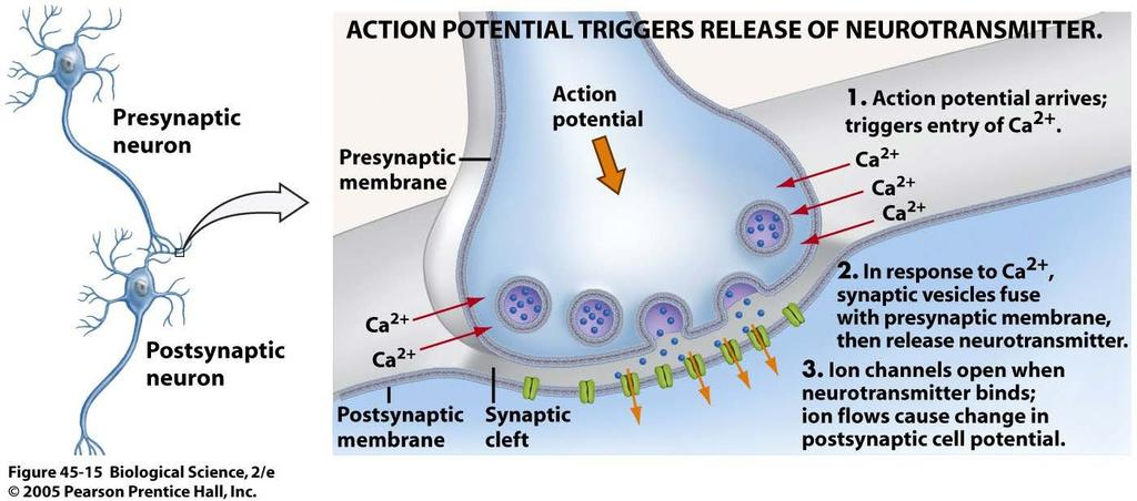 Synapse/Junctions Chemical Synapse Synaptic vesicles Ca 2+ Ca 2+ Ca 2+ Chemical synapse: Most common in the body. Membranes of presynaptic cell and postsynaptic cell are not physically connected.