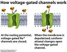 First step in the generation of an AP is the opening of voltage gated Na+ channels, at one site, usually the initial segment of axon.