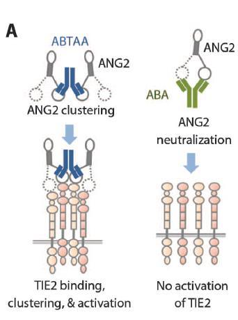 ANG2-Binding and TIE2-Activating Antibody (ABTAA) Associates with ANG2 to