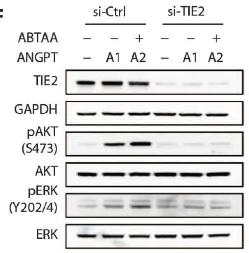 TIE2 Knockdown Abrogates ABTAA Mediated AKT and ERK Phosphorylation How does the loss of