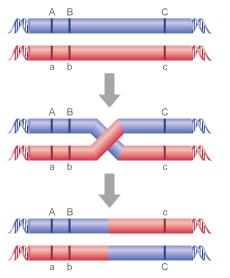 Genetic Linkage Defined Genetic loci that are physically close to one another tend to stay together during meiosis.