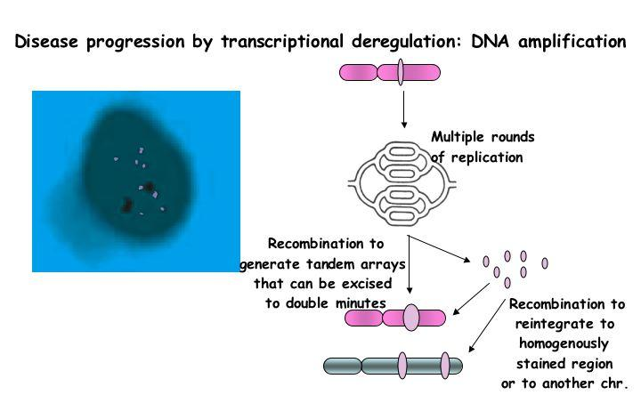 Activation by Amplification of the DNA Amplification affects amount of oncoprotein by increasing the number of copies of the gene, thereby increasing transcription. e.g. -Myc, cyclin D Chromosomal translocation-deregulation of expression or function, e.