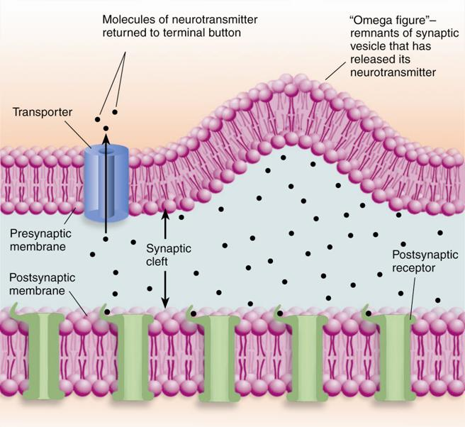 Neurotransmitters Criteria synthesis found in neuron itself found at the presynaptic membrane release into the cleft causes a change in the postsynpatic