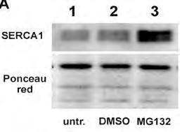 anti SERCA1 in vitro studies: HEK 293 cells ex vivo