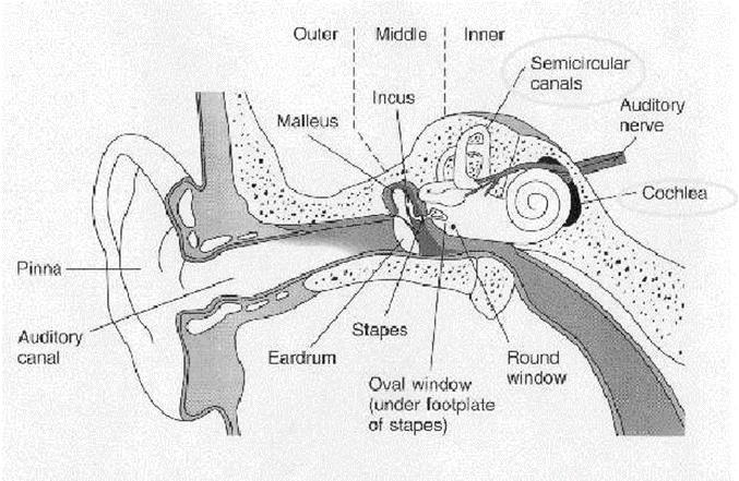 Figure 1.1: Cross-section of the human ear [3]. When sound reaches the inner ear through the eardrum, this phenomenon is called air conduction. This is the usual path of sounds to reach the eardrum.