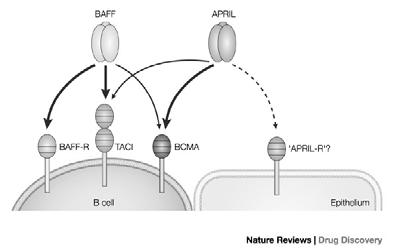 follicles CXCR5 (CXCL13) BAFF (B cell activating factor of the TNF family; aka BLyS B lymphocyte stimulator) APRIL TACI (Selective IgA def and CVID!