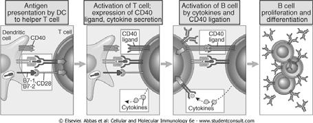 CD40L:CD40 Interactions CD40L:CD40 Interactions (Activated) Th express CD40L that engages CD40 on (ALL) B cells Stimulates B cell proliferation, differentiation, and germinal center formation Induces