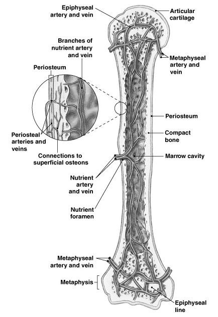 functions of the skeletal system  chapter 6  osseous tissue and bone structure  classification