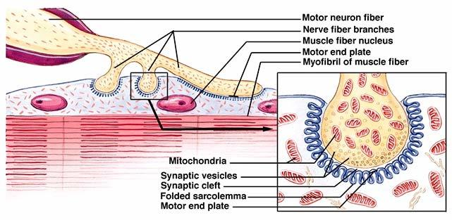 Illustration of the Neuromuscular Junction Motor Unit Motor unit = one motor neuron and all the muscle cells it innervates Innervation ratio number of muscle cells per motor neuron variable from