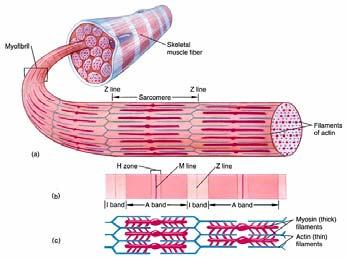 How Muscles Contract: The Sarcomere The myosin and actin are organized into a