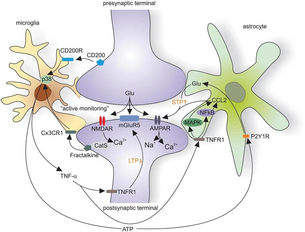 Glia-neuron interactions 13