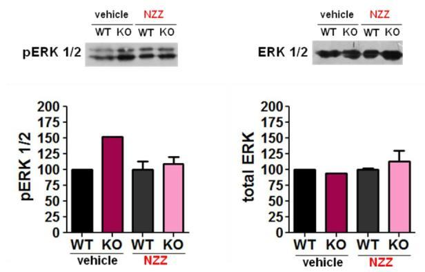Ras-Mek-Erk Pathway Vehicle NNZ-2566 Vehicle NNZ-2566 N = 4 per Group Vehicle NNZ-2566 Vehicle NNZ-2566 Overall levels of ERK are unchanged in the brain in fmr1 KO mice However,