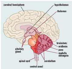 HYPOTHALAMUS As a control centre for homeostasis, the hypothalamus has the following features: A change in the external or internal envts is detected by receptor cells.
