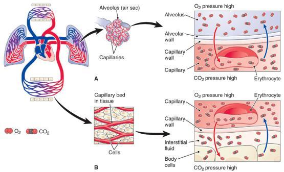 The Process of Respiration Gas Exchange External exchange between alveoli and capillaries Occurs in the lungs Requires a pressure gradient Internal exchange between body tissue and capillaries Occurs