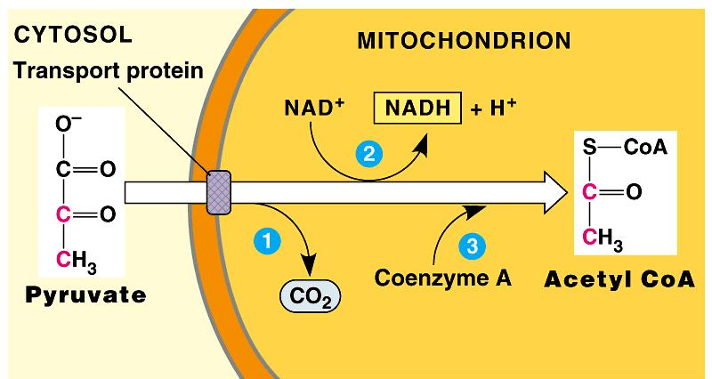 As pyruvate enters the mitochondrion, a multienzyme complex modifies pyruvate to acetyl CoA which enters the Krebs cycle in the matrix. A carboxyl group is removed as CO 2.