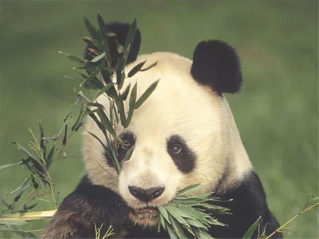 The giant panda Obtains energy for its cells by eating plants