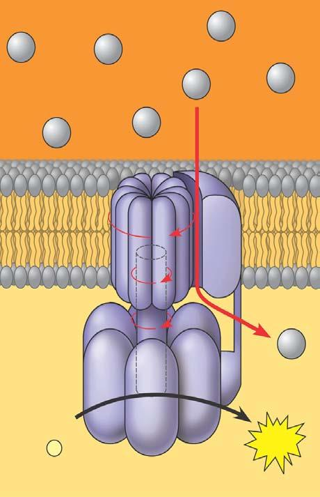 ATP synthase Is the enzyme that actually makes ATP INTERMEMBRANE SPACE H + H + H + H + H + H + H + A rotor within the membrane spins clockwise when H + flows past it down the H + gradient.