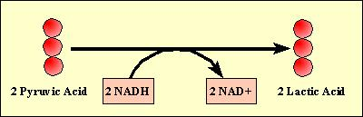 During lactic acid fermentation Pyruvate is reduced directly to NADH to form lactate as a waste product NAD+ is now