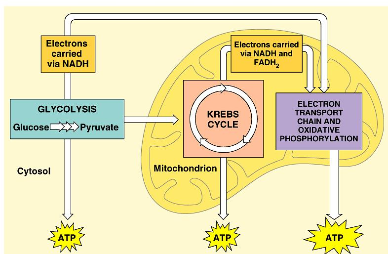 respiration using O 2 in mitochondria 2. Pyruvate oxidation 3.