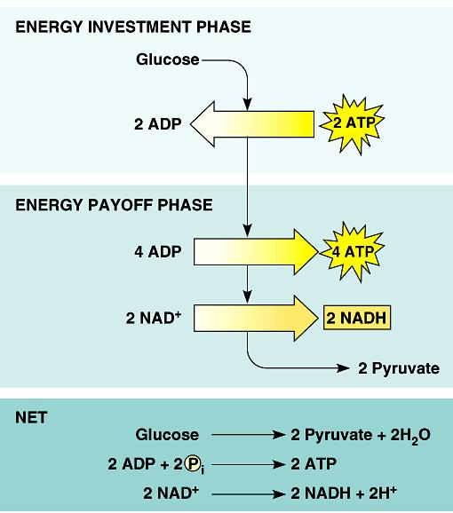 ENERGY INVESTMENT endergonic invest some ATP -2 ATP ENERGY PAYOFF G3P C-C-C-P 4 ATP