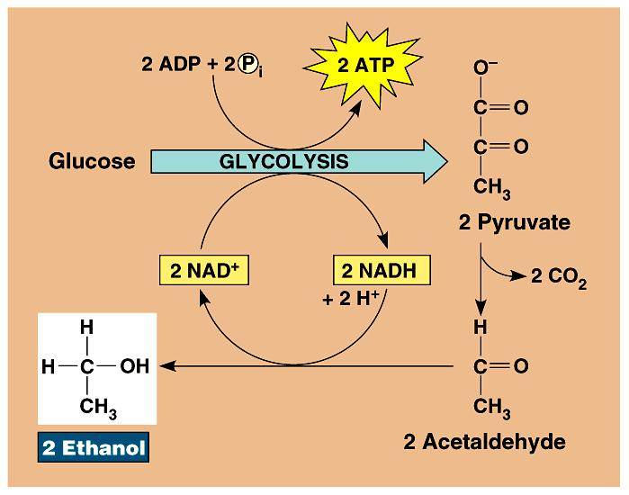 pyruvate ethanol + CO 2 3C NADH NAD + Dead end process at ~12% ethanol, kills yeast can t