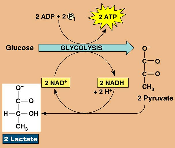 pyruvate lactic acid 3C NADH NAD + 3C O 2 back to glycolysis recycle NADH Reversible process once O 2