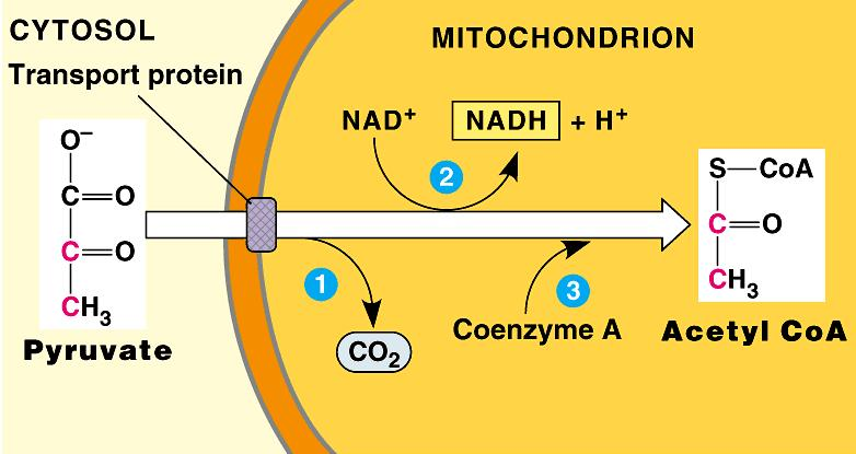 NAD + reduction Pyruvate C-C-C CO 2 Coenzyme A