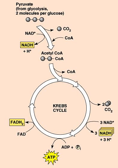 Electron Carriers = Hydrogen Carriers Krebs cycle produces