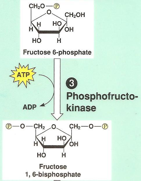 Glycolysis: Step by Step Step 3: carbon 1 phosphorylated to cause the molecule to