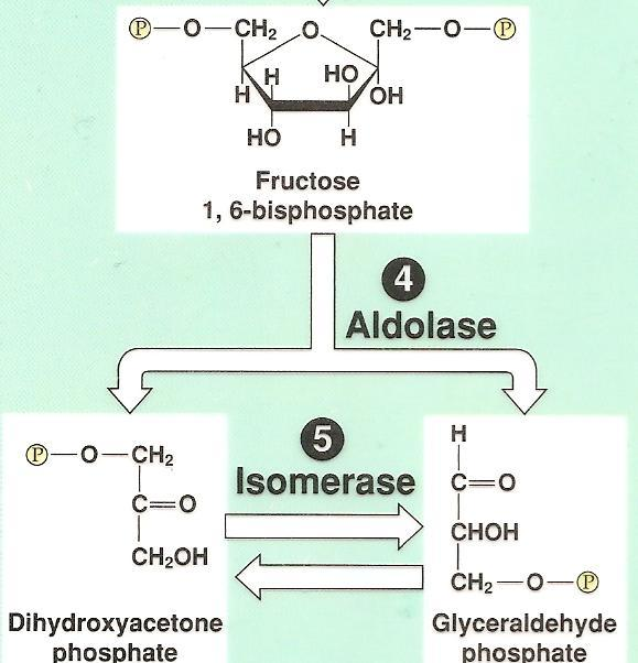 Glycolysis: Step by Step Step 4: the unstable molecule is split