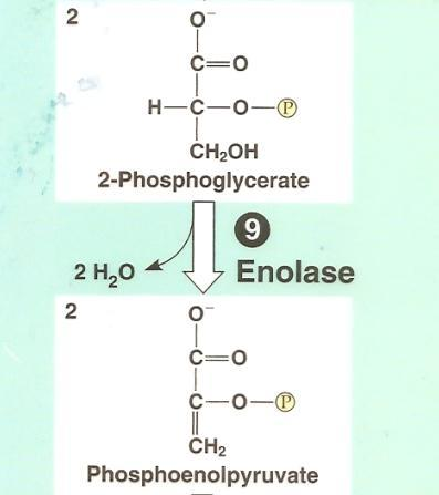 Glycolysis: Step by Step Step 9: water removed to set up next