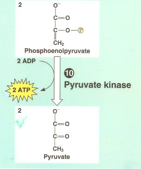 Glycolysis: Step by Step Step 10: ADP phosphorylation to