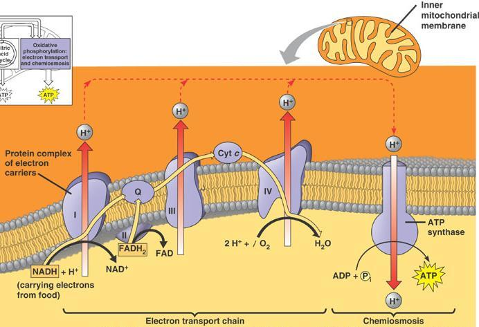 Membrane-bound proteins Enzymes & permeases What does this tell us about the
