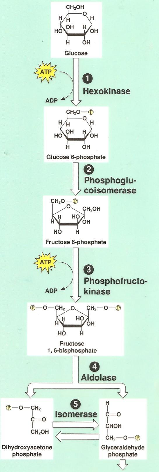 Q: Do you think glycolysis can still work?