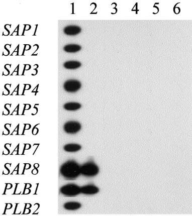 RESULTS Figure 1. Reactivity of secreted aspartyl proteinase genes SAP1 SAP8 and phospholipase B genes PLB1 and PLB2 primer sets with genomic DNA isolated from different Candida species: C.