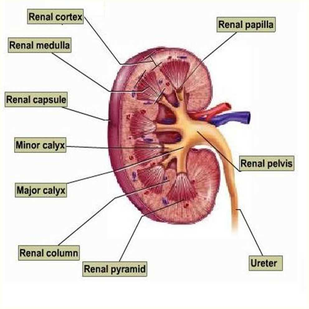 Urinary System. Analyze the Anatomy and Physiology of the urinary ...