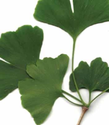 Modes of Action: More than 100 clinical trials have investigated the bioactivities of standardized ginkgo leaf extracts.