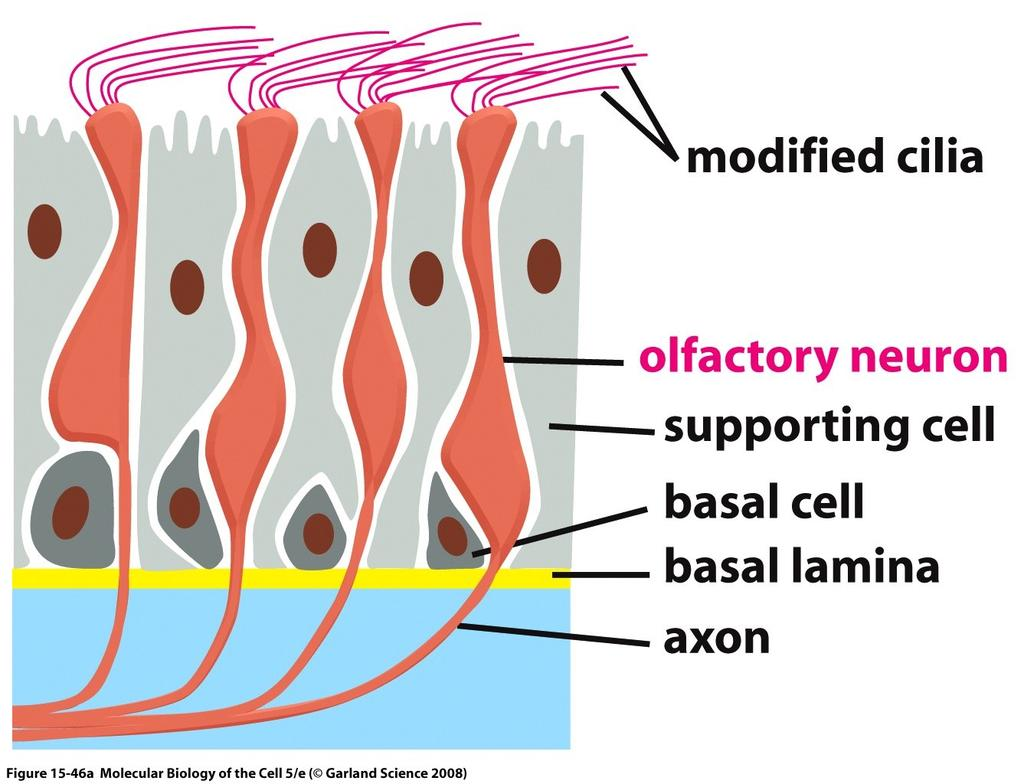 Specialized olfactory receptor neurons in the linking of the nose. GPCR (olfactory receptors) is displayed on the surface of the cilia. Golf acts through camp.