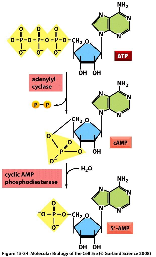 The most frequent target enzymes for G proteins Adenylyl cyclase