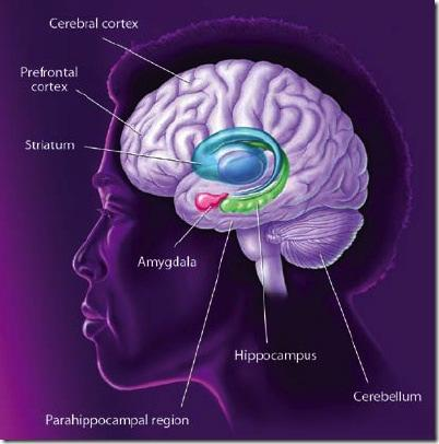 Chapter 2: Literature Review 2.3.3 NEUROANATOMY OF FEAR CONDITIONING Perirhinal cortex Figure 8: Brain regions involved in fear conditioning.