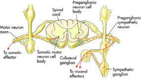 Pre- and Postganglionic Neurons A two-neuron chain exists in a series between the CNS and effector organs Preganglionic neuron located in the CNS Passes between CNS and ganglia Postganglionic neuron