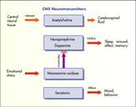 CNS Stimulants Classified by site of action Cerebrum Medulla and brainstem Hypothalamic limbic regions Common CNS stimulant drugs Anorexiants Amphetamines Psychotherapeutic Drugs Psychotherapeutic