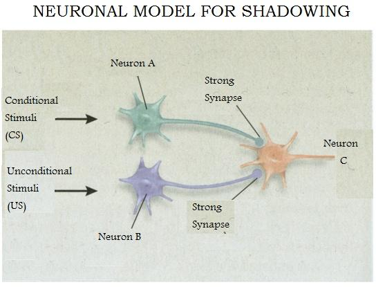 Figure 3: Neuronal model for Shadowing. Increases in the sensitivity to background noise leads to both Neuron A and B synaptic connections increasing in their synaptic connections with Neuron C.