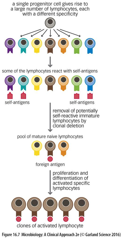 CLONAL SELECTION OF LYMPHOCYTES Lymphocytes that remain after clonal deletion mature Each is specific for a nonself antigen If an antigen is encountered, the lymphocyte is activated It begins to