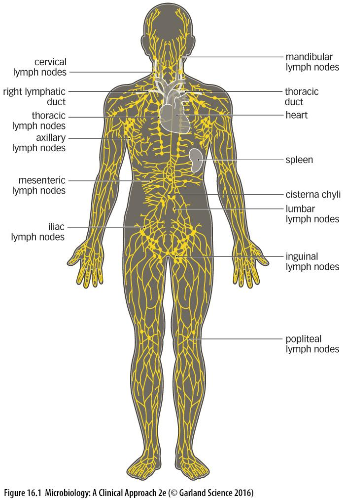 LYMPHATIC SYSTEM STRATEGIC LYMPHOID STRUCTURES Strategic lymphoid structures are found in places where pathogens enter MALT mucosa-associated lymphoid tissue Term given to lymphoid tissues associated