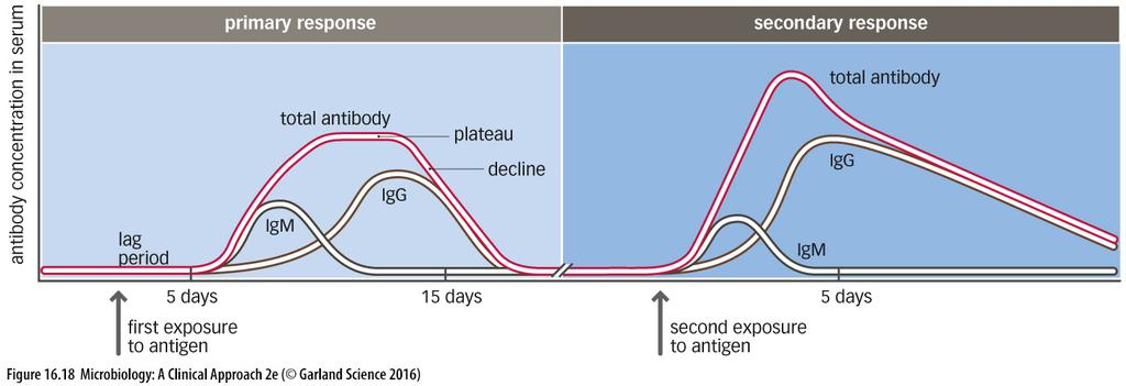 TIMING OF IMMUNOGLOBULIN RELEASE: Secondary Response The secondary response occurs when the antigen is seen again Antibody production and isotype switching occurs quickly in the secondary response