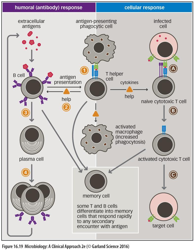 B CELL ACTIVATION AND COOPERATION WITH T CELLS B cells also pass through the paracortical areas B cells are trapped if there is an activated T cell present T and B cells cooperate in the paracortical