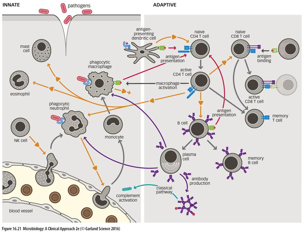 an antigen Once pathogens have established an infection, it is only the adaptive